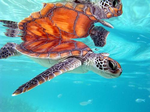 tortuga_polynesia